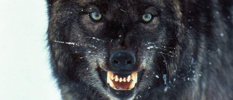 Contra los lobos