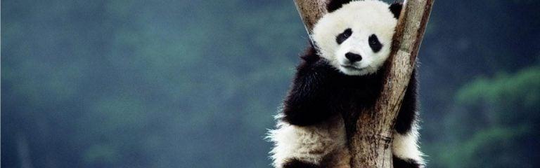 La enfermedad del panda